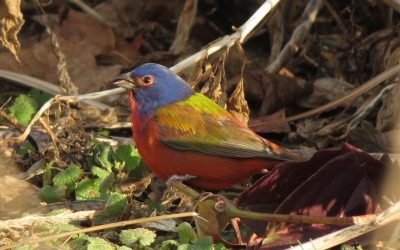 Birding is So Metal, Part II: Scene Etiquette and the Painted Bunting