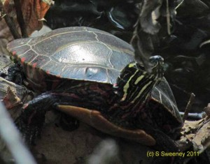 Turtle -- Scalzi Riverwalk