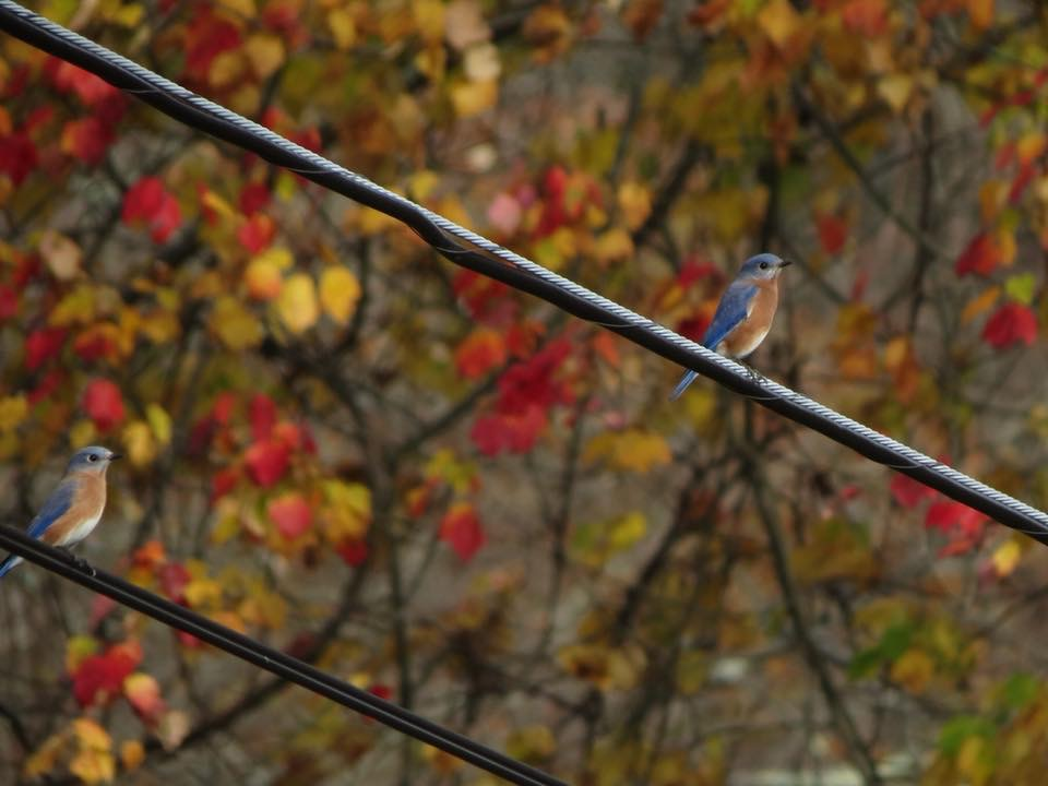Eastern Bluebirds at Ward Pound Ridge Reservation