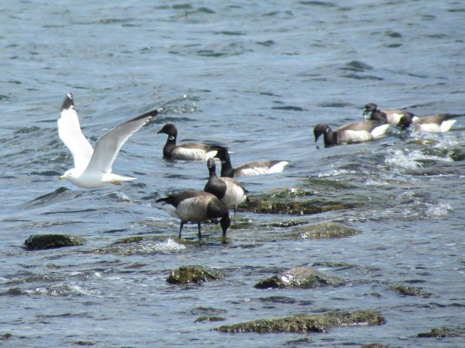 Brant Geese and a Ring-billed Gull at Cove Island Park